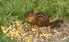 How Sweet It Is! (ChicaD58) Tags: nature rodent spring corn backyard critter treats chipmunk 162a