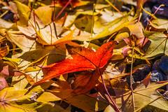 Otoo (Qatsi Fisher) Tags: autumn orange colors leaves yellow leaf sony colores amarillo april otoo soledad naranja sonycamera automme sonyalpha orangecolors sonya58