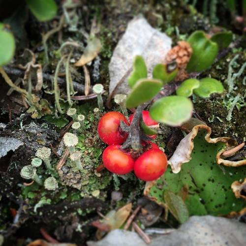 Bearberries are edible, and are a favourite food for bears #yxy #Yukon #berry #bear #worldbeneathmyfeet