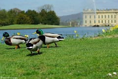chatsworth ducks (Simon Dell Photography) Tags: house lake detail macro water fountain up gardens garden landscape duck spring funny close estate ducks awsome land mallard grounds chatsworth 2015