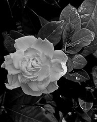 black and white... (armykat) Tags: blackandwhite flower floral longwoodgardens gardenia natureycrap kennettsquarepennsylvania androidphotography