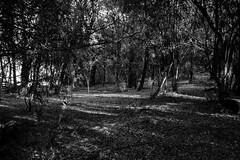 (martinnarrua) Tags: trees bw naturaleza tree byn blancoynegro nature argentina forest nikon rboles bosque rbol amateur nikond3100