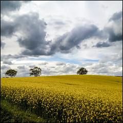 canola with sky and trees (horn blower) Tags: sky cloud blackberry smartphone springtime canola schleswigholstein northerngermany blackberryclassic