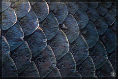 Arapaima gigas (stofmania) Tags: fish aquarium zaragoza scales poisson acuario cailles arapaima saragosse gigas stofmania christopheaubin