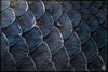Arapaima gigas (stofmania) Tags: fish aquarium zaragoza scales poisson acuario écailles arapaima saragosse gigas stofmania christopheaubin
