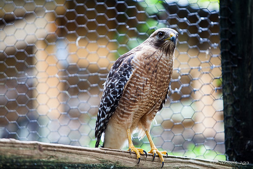 Red Shouldered Hawk 6319