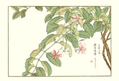 Rangoon creeper (Japanese Flower and Bird Art) Tags: flower art japan japanese creeper woodblock nihonga rangoon indica kose combretaceae quisqualis shoseki readercollection