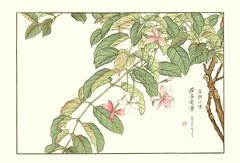 Rangoon creeper (Japanese Flower and Bird Art) Tags: flower art japan japanese creeper woodblock nihonga rangoon indica kose combretaceae quisqualis shoseki readercollection