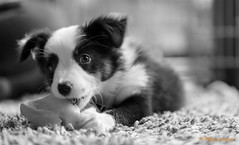 Border Collie (www.petje-fotografie.nl) Tags: bordercolie noor hond puppy zwartwit