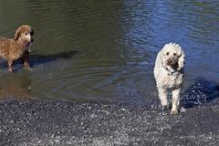 2732 (Jean Arf) Tags: ellison park dogpark rochester ny newyork september autumn fall 2016 poodle dog standardpoodle gladys maggie pond wet water