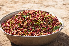 2016 Oct - bowl of coffee cherry (Foods Resource Bank) Tags: haiti caribbean coffee farmers men women pruning improved income humanitarian food security development charity hunger