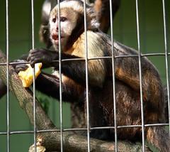 Zoo Ffm Gelbbrust-Kapuziner (Sapajus xanthosternos) P1020111 (martinfritzlar) Tags: zoo frankfurt tier sugetier affe kapuziner gelbbrustkapuziner cebidae sapajus xanthosternos monkey goldenbellied capuchin