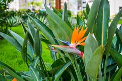 DSC_6231 (sergeysemendyaev) Tags: 2016 riodejaneiro rio brazil      paralympicvillage village flower plant