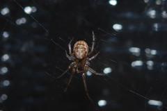 Arachtober 26b Tiny Male Zygiella x-notata (Procrustes2007) Tags: arachtober26tinyspiders zygiellaxnotata missingsectororbweaver arachnid spider nikond50 nikkor50mmais tamron2xteleconverter vivitarextensionrings68mmtotal flash greatcornard sudbury suffolk uk britain england gridreftl883407