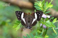 The White Punch -  (Antonio Giudici Butterfly Trips) Tags: thailand butterflies lepidoptera petchabun thungsalaengluangnationalpark thewhitepunch  lycaenidae riodininae dodonadeodatadeodata