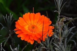 10384- Un joli gerbera orange :) ( Merci Lili ;) )...