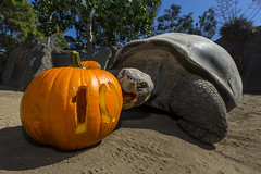 100 Years Old Never Looked So Good (San Diego Zoo Global) Tags: sandiegozooglobal2016 animals nature conservation sandiego travel centennial tortoise galapagos pumpkin