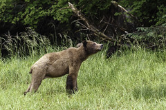 Checking for danger (Alan Vernon.) Tags: brown bear grizzly coastal ursus arctos horribilis mature female sow mother cubs babies danger sniffing air watchful alert nature wildlife wild mammal american bears omnivore predator shore