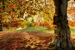 Tree in autumn Leaf (robin denton) Tags: tree hdr knavesmire york northyorkshire yorkshire nature autumn autumnsunlight autumnleaves micklegatestray landscape yorkshirelandscape trees contrejour