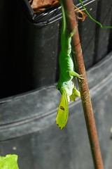 Green Anole Catches Sulphur Butterfly (Bea Hive) Tags: animals anole green butterfly sulphur nature farm gary panolacounty texas usa