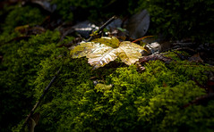 Maple 2016 (Basileia Gorgo) Tags: maple blatt laub moos natur gelb ahorn leaf foliage nature green yellow moss canon eos550d dslr niftyfifty 50mm autumn herbst fall
