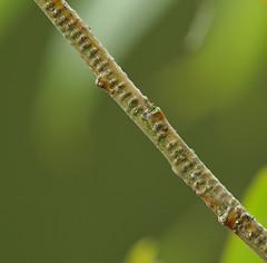 Oviposition scars on Salix (Mark Ferris wildlife Photography) Tags: oviposition salix