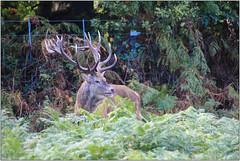 Defeated (Mabacam) Tags: 2016 london richmonduponthames richmond richmondpark park deer reddeer stag nature outdoor antlers bracken