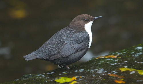 Black-bellied Dipper 30-10-16 Needham Market_F8A8777
