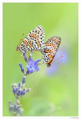 Les amours d't (jeremie.brion) Tags: papillon nature macro green vert t proxy lavande butterfly