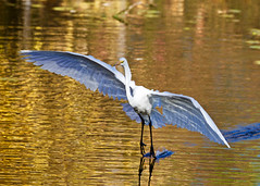 Great Egret in flight (CdnAvSpotter) Tags: birdwatching great egret flying inflight waterfowl heron wildlife nature autumn fall mud lake ottawa ontario canada canon canonpro 1dxii 100400mm eos large wing span