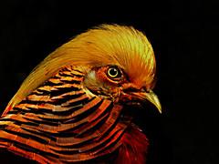 DSCN0085 Golden Pheasant (tsuping.liu) Tags: outdoor organicpatttern blackbackground birds nature natureselegantshots naturesfinest photoborder perspective photographt pattern