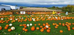 20161022_122244 copy (cora.anne) Tags: pumpkins agriculture