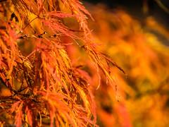 I love to live where there are seasons (katrin glaesmann) Tags: autumn herbst foliage laub bunt acerpalmatumdissectum japanischerahorn maple fächerahorn japanesemaple smoothjapanesemaple leaves hannover berggarten botanicalgarden herrenhäusergärten gardensofherrenhausen