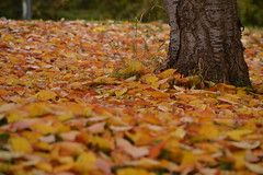 Beautiful Mess (mitchell_dawn) Tags: autumnleaves autumn ground floor carpet tree leaves orange yellow flickrfriday
