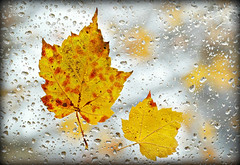 Rainy Autumn Day. (Through Serena's Lens) Tags: flickrfriday autumnleaves fall october droplets rain window glass colorful outdoor