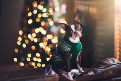 (Rebecca812) Tags: dog sweater chrstmas headtilt bostonterrier pet dogs amimals amimalthemes christmastree twinklelights sunlight home livingroom couch cute humor funny petclothes jumper festive rebecca812 petportrait canon