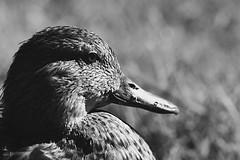 The Pondering Duck (CMF1983) Tags: blackandwhite monochrome animal nature duck wildlife stourhead nationaltrust outdoor bird nikon d3300 tamron