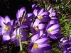 CROCUS Hacienda-Mars. (01937100-Thanks for your 2,5 MILLIONS visits.) Tags: jardin printemps violet crocus