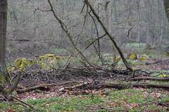 ckuchem-0253 (christine_kuchem) Tags: asthaufen baumrinde bäume eiche hainbuche haufen pflanzen schutz tiere unterschlupf wald wildnis wildtiere winter winterschlaf naturnah natürlich äste