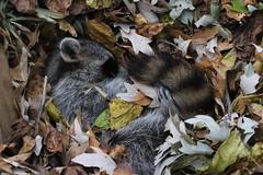 Sleepy Time (IMG_5664) (katalin_kerekes) Tags: raccoon procyonlotor sleep