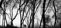kuirau park abstract (rina sjardin-thompson photography) Tags: rotorua rinasjardinthompson trees texture silhouettes mist steam newzealand nz nature northisland geothermal mood monochrome blacknwhite bnw