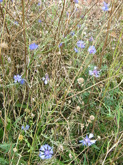 IMG_5447_1 (Andrew Batram) Tags: holiday leicesterring plants flowers cornflowers