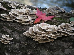 Leaf On Fungi (deu49097) Tags: leaf fungi autumn