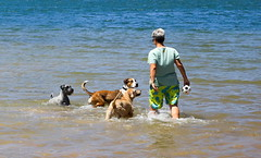 The romp (6) (geemuses) Tags: bayviewpark dogpark bayview monavale dogs dog canine walkingthedog exercise running sprinting playing sydney sydneyharbour northernbeaches