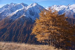 Fall in the Gran Paradiso mountains (Marco MCMLXXVI) Tags: aosta italy alps alpi mountain montagna iced snowy summit autumn autunno fall colors trees view landscape vista panorama outdoor hiking escursionismo travel tourism nature natura mountainpeak ridge cliff crag canyon valley sony ilce6000 a6000 pz1650 europe larches granparadiso cogne scenery