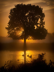 The Golden Paddle Hour (paulinuk99999 - tripods are for wimps :)) Tags: paulinuk99999 bushy park early morning sunrise golden hour swans ducks swim surrey london sal70400g fog mist 2016 tree silhouette