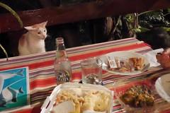 食事をじっと見守るキツネ(猫)
