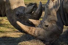 Bruisers (brev99) Tags: rhinoceri rhinoceros horns tamron70300vc d7100 topazdetail highqualityanimals hay tulsazoo