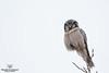 L'Épervière ;) (Philou73couz) Tags: chouetteépervière northernhawkowl surniaulula canada chouette monregardsurlanature natuer owl philippedebruyne québec strigidé wildlife épervière