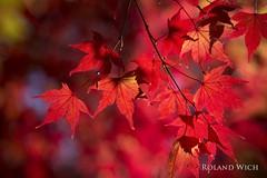 Seoul Autumn (Rolandito.) Tags: south korea autumn rad maple leaf leaves